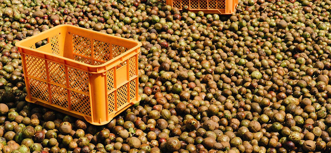 椿油の歴史