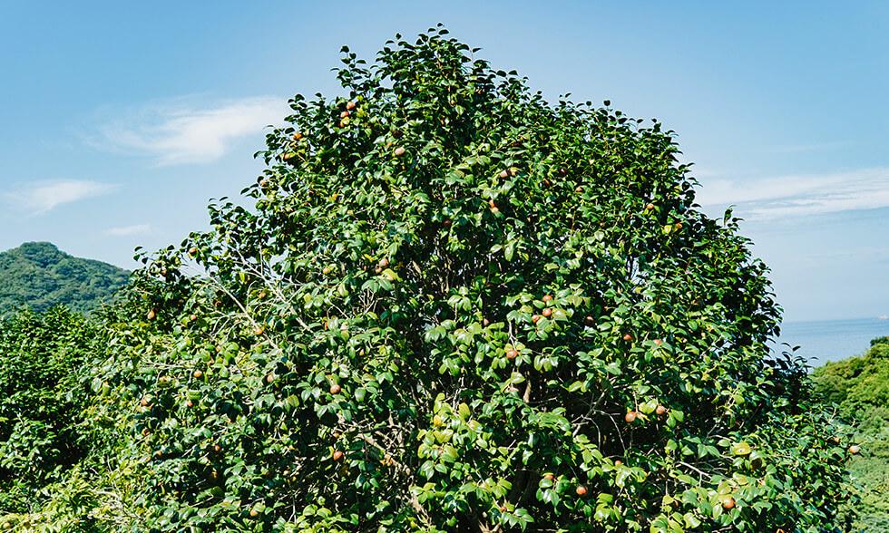 長崎の海が見える丘で育まれた椿の実